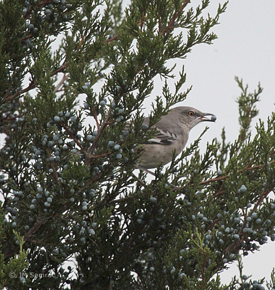 IMG_9254_Mockingbird-Northern-cedar_berries3_opt.jpg