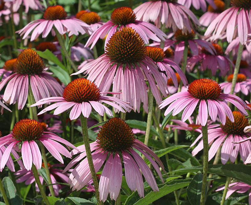 IMG_5824_Coneflower-Purple_opt.jpg