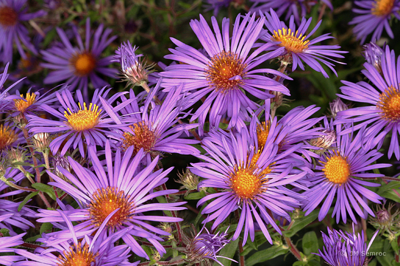 _MG_0139_Aster-New_England-flowers_opt.jpg
