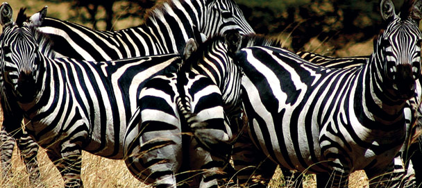foundation_giving_zebras.jpg
