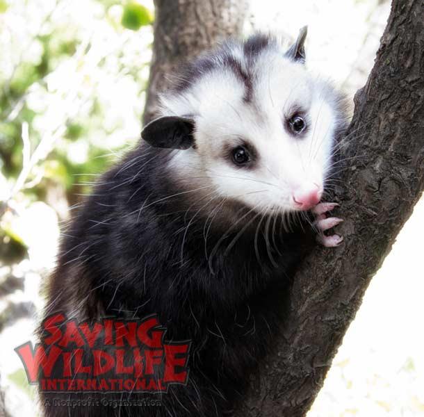 SWI_Pearl-the-Opossum.jpg