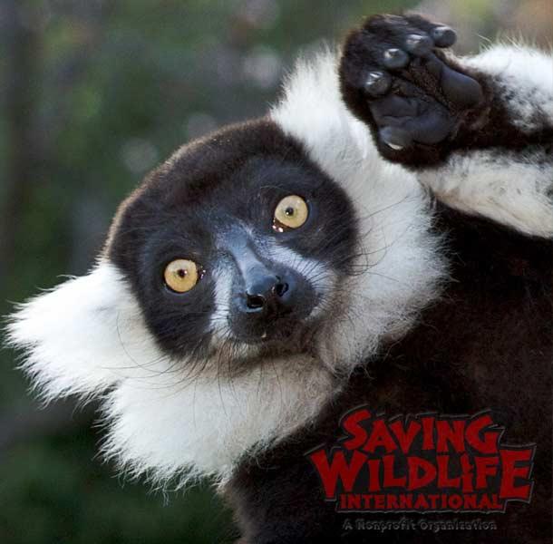 SWI_Boo-the-lemur.jpg