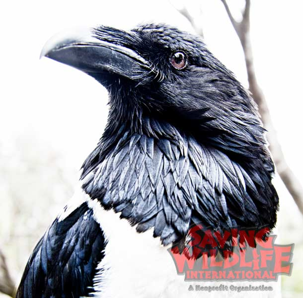 SWI_Brandon-the-African-Pied-Crow.jpg