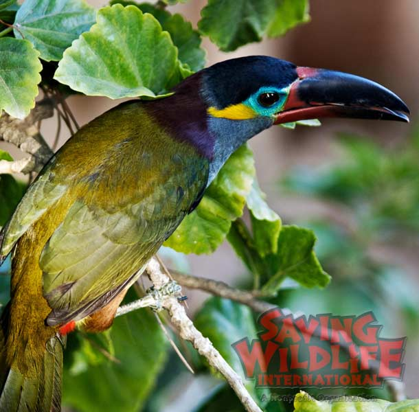 SWI_Figgy-the-Guyana-Toucanet.jpg