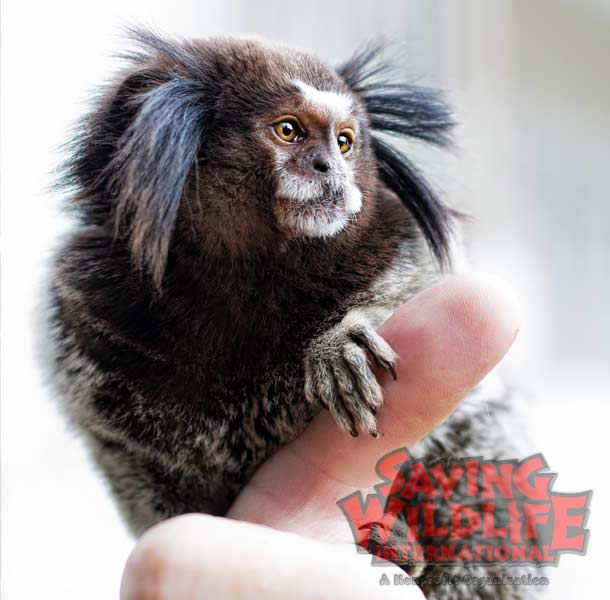 SWI_Macho-the-Penicillata-Marmoset.jpg