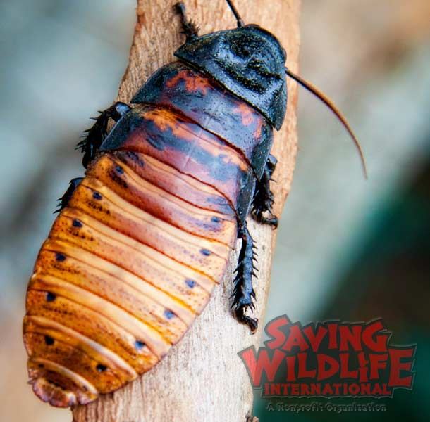 SWI_Wally-the-Madagascar-Hissing-Cockroach.jpg