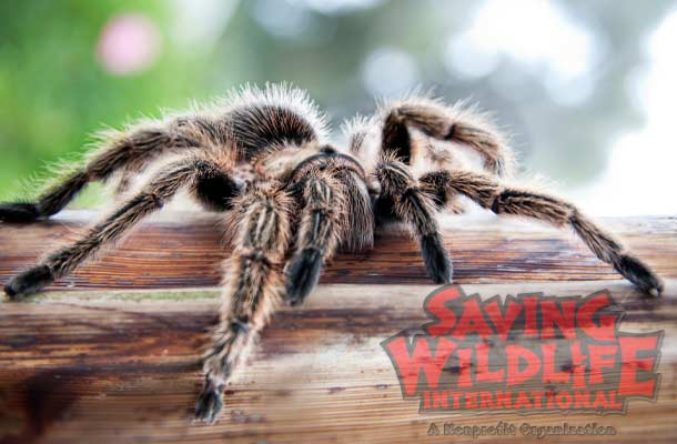 hilean-Rose-Hair-Tarantula spider animal-show wildlife reptiles