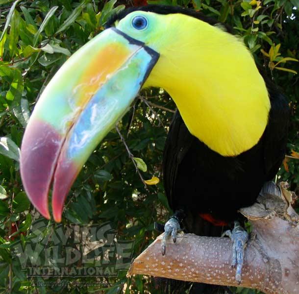 Toucan bird-show parrot exotic birds pirates  toco keel-bill softbills