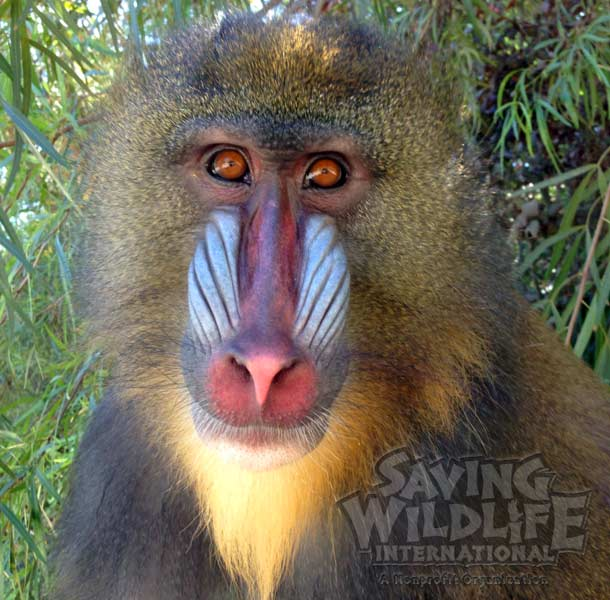 endangered Mandrill Baboon Monkey animal show