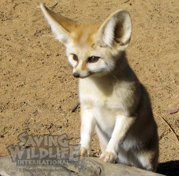 SWI_Mia-the-Fennec-Fox.jpg