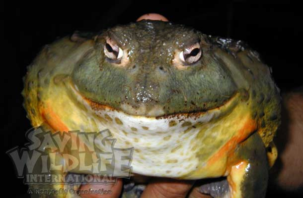 African-Pixie-Frog reptile reptile-show amphibian tree-frog bullfrog prehistoric-pets reptacular wildlife-wonders