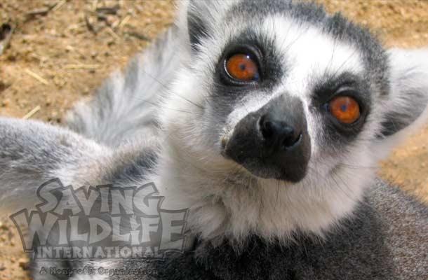 SWI_Cerci-the-Ring-Tailed-Lemur.jpg