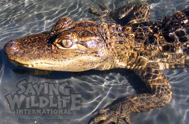 American Alligator crocodile gator reptile-show reptile-family reptacular animal-show