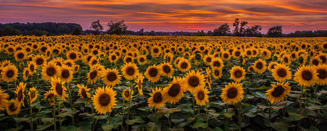 sunflower_sunset.png