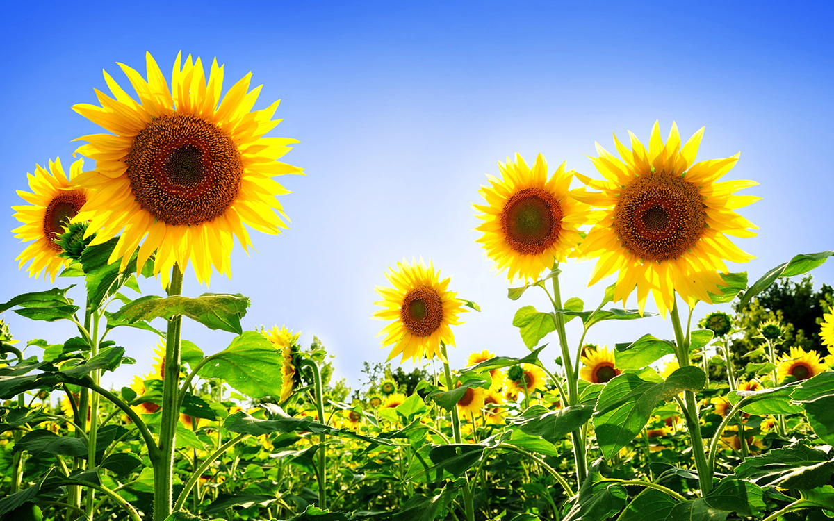moneybloom_gorgeous_sunflowers-wide_small.jpg