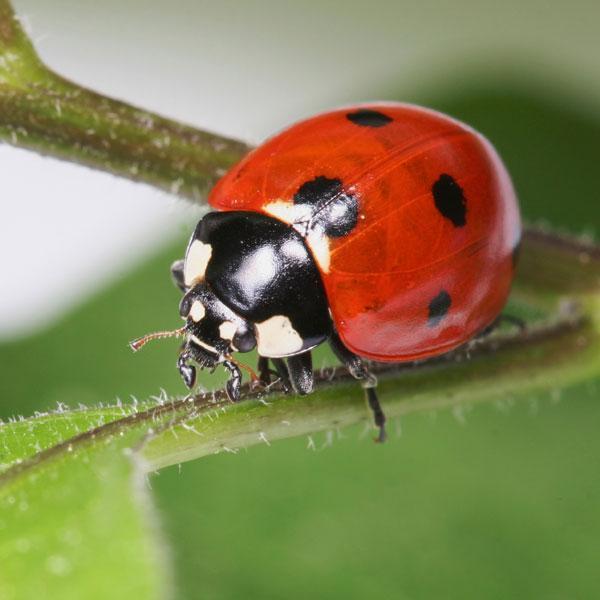 lady_bugs.jpeg