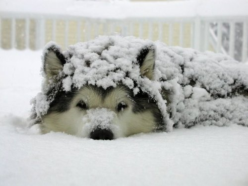 husky_puppy.jpg