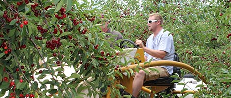 Cherry Farmer