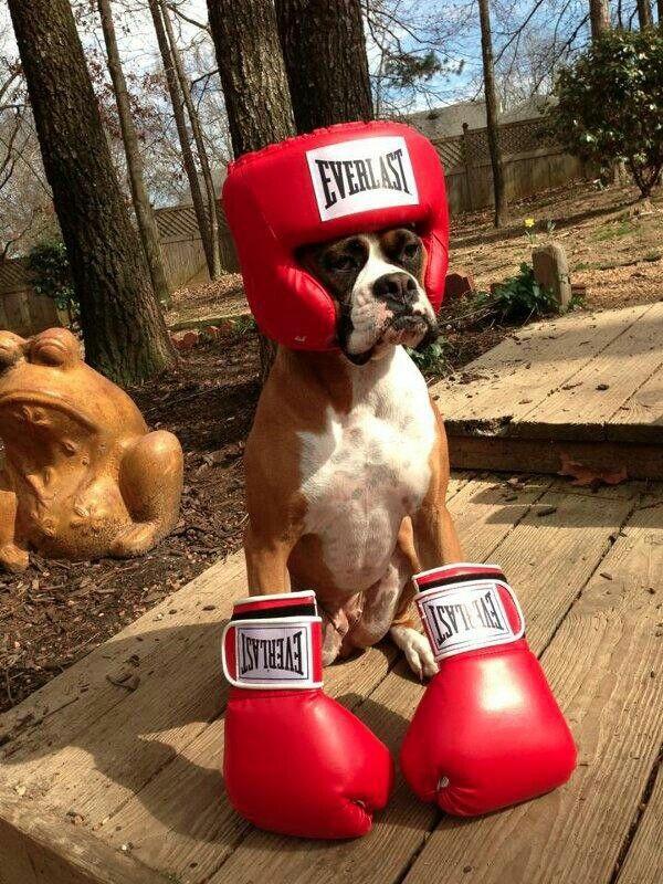 dog-boxer.jpg