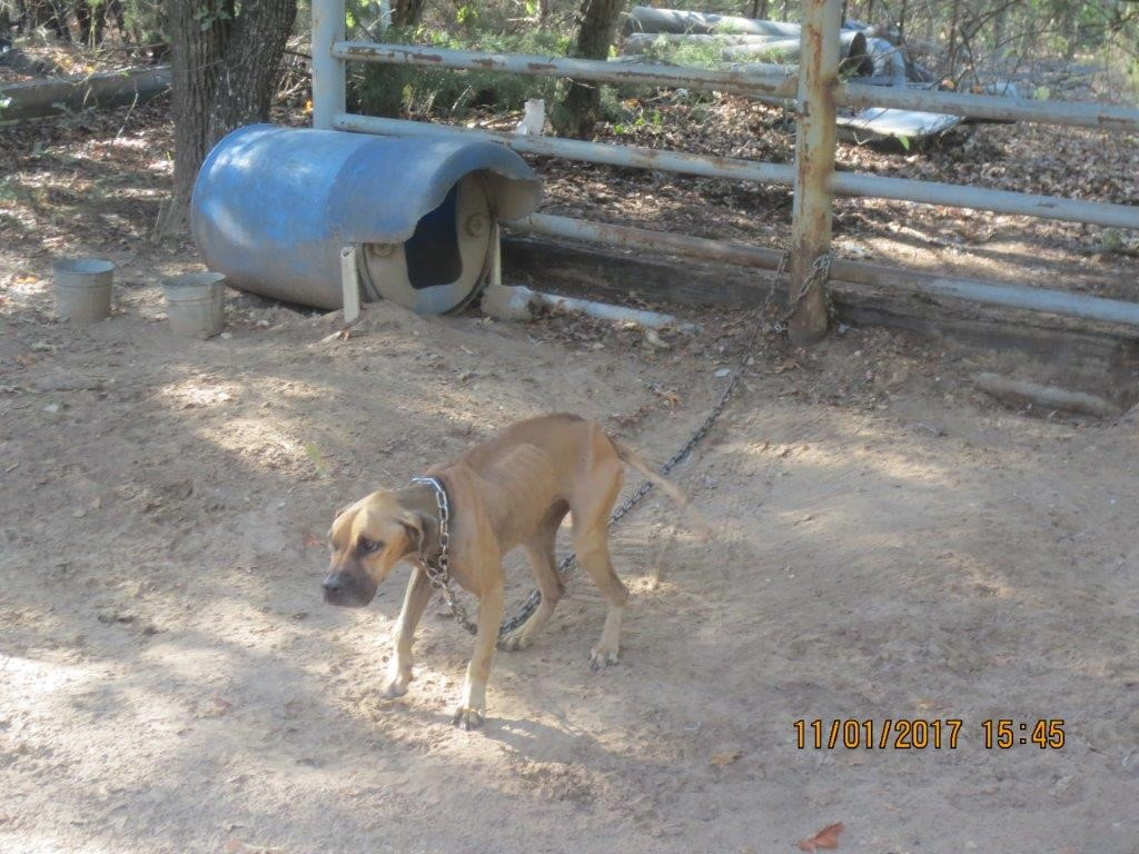 Cruelly chained dogs saved, but more need help