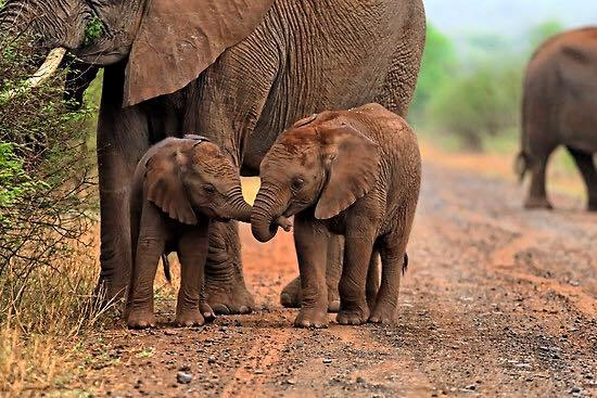 baby-elephants-holding-trunks.jpg