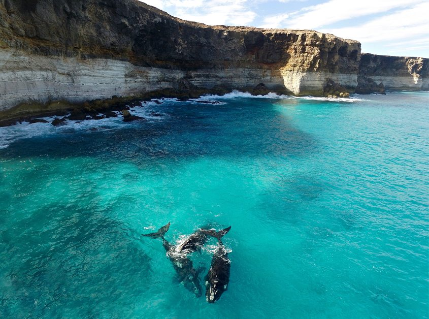 Whales at the head of The Great Australian Bight