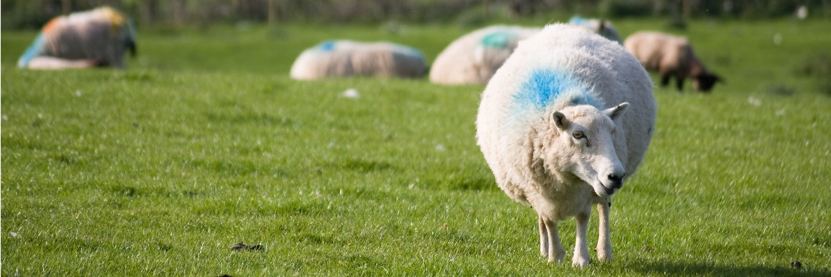A sheep in a field with other sheep in the background.