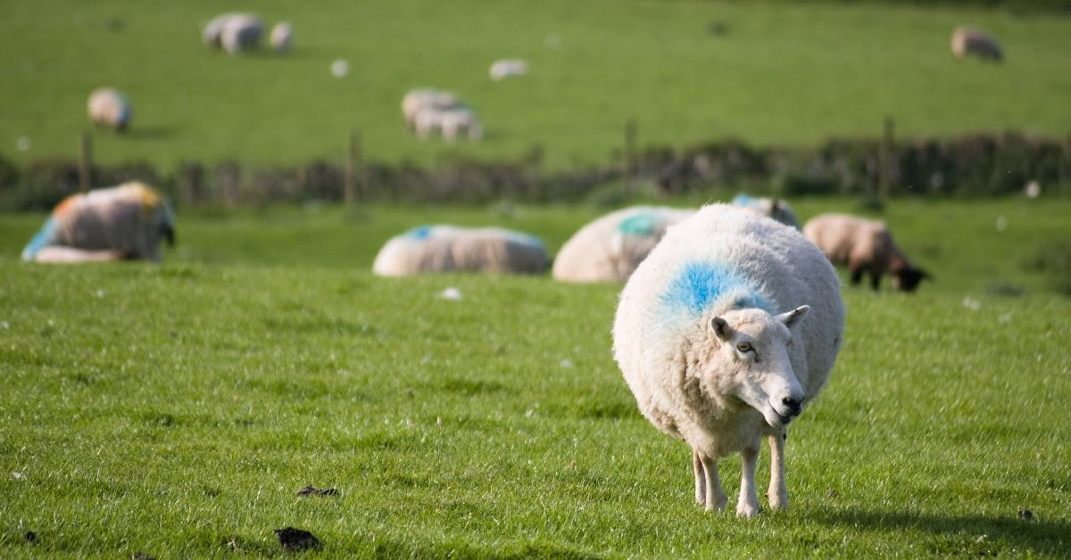 A sheep in a field with other sheep in the background. Links to: RBS confirm rural customers will lose access to banking