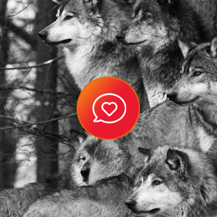 Heart comment icon and photo of a wolf pack