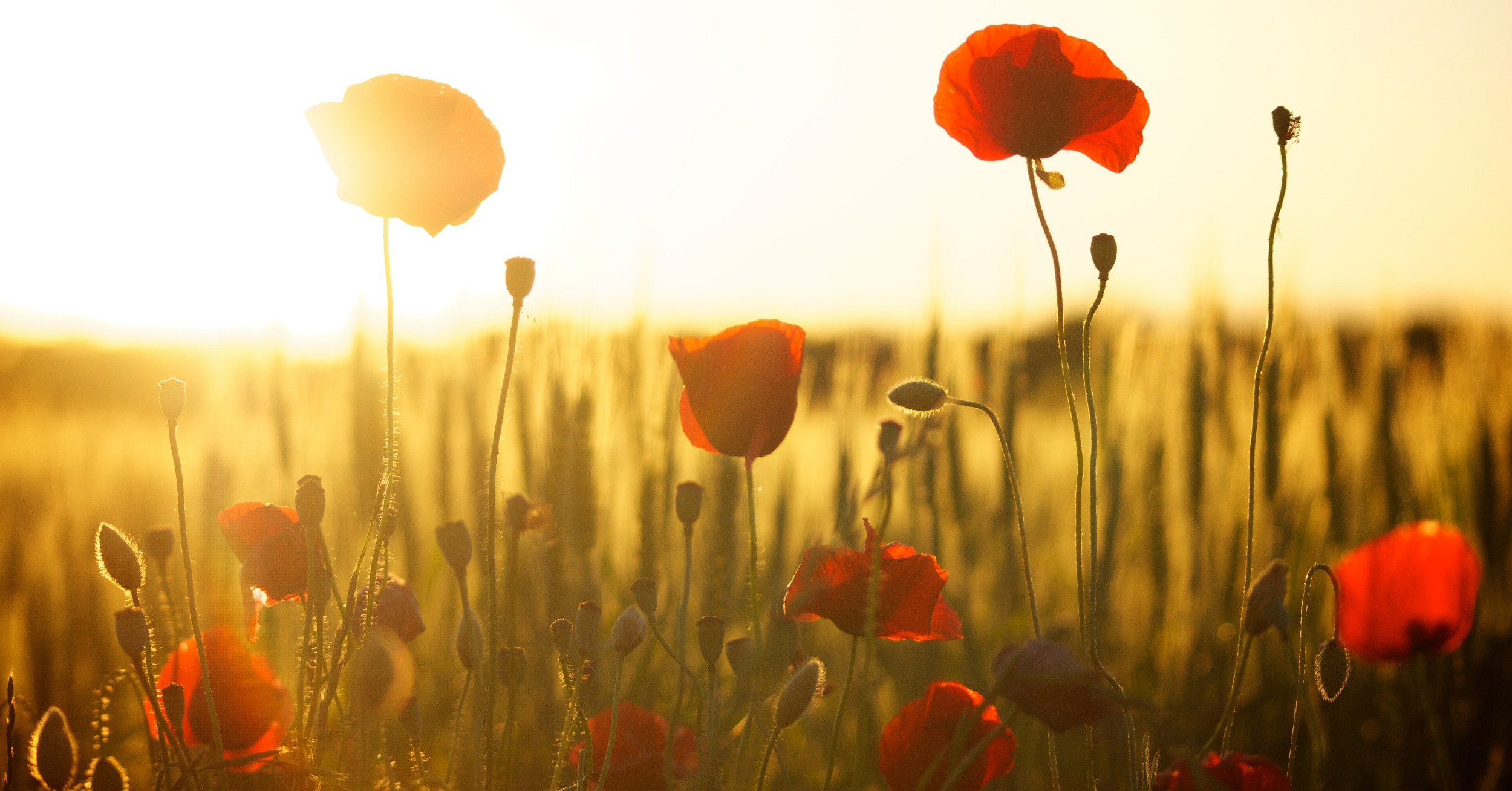 A field of poppies with sun behind