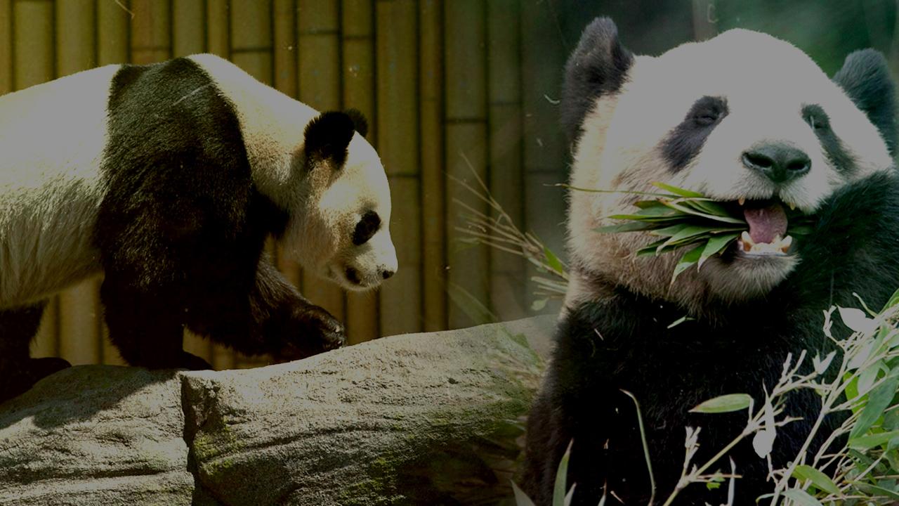 Keep The Pandas