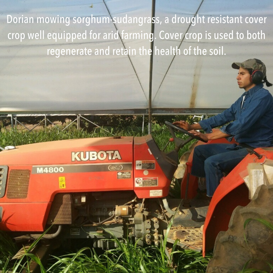 Dorian mowing sorghum-sudangrass, a drought resistant cover crop well equipped for arid farming. Cover crop is used to both regenerate and retain the health of the soil.