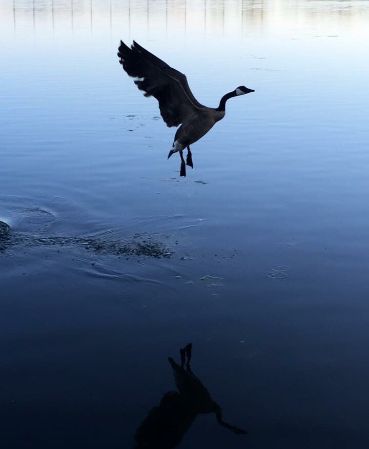 bird landing in water with reflection