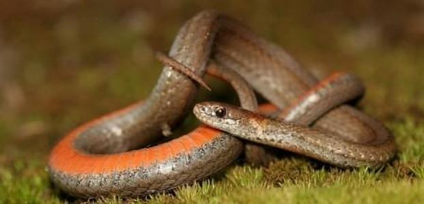 Black Hills Red-bellied Snake
