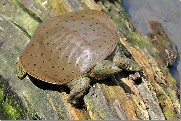 Eastern Spiny Softshell