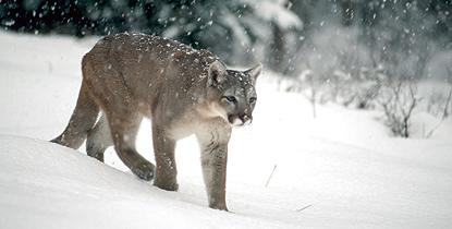 Mountain Lion (Puma)