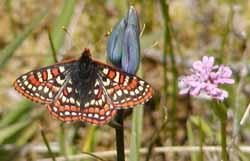 taylors-checkerspot-butterfly.jpg