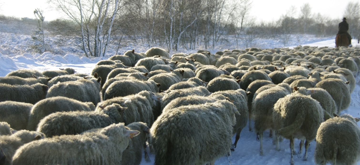 winter_sheep.jpg