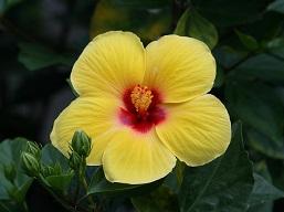 hibiscus-758272_1280.jpg