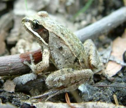 Post_2_-_Wood_Frog.jpg