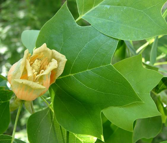 Post_5_-_Tulip_Tree.jpg