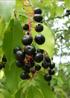 Post_14_-_Black_Cherry_Berries.jpg