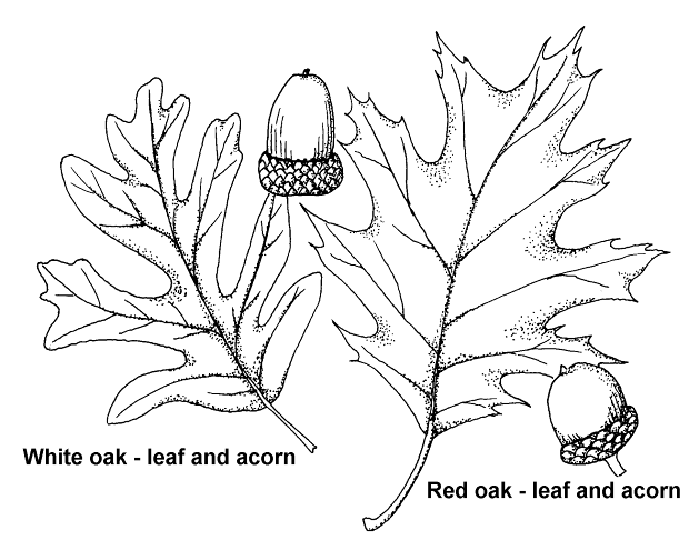 Post_21_-_Oak_Leaves.png