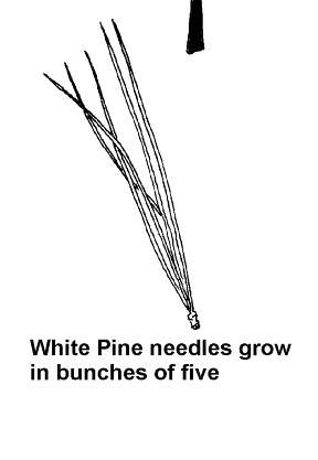 Post_21_-_Pine_Needles.png