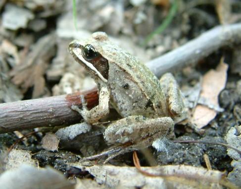 Wood_Frog_Jane_Bowles.jpg