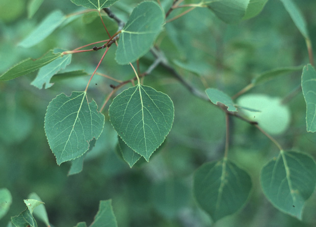 Populus tremuloides leaves