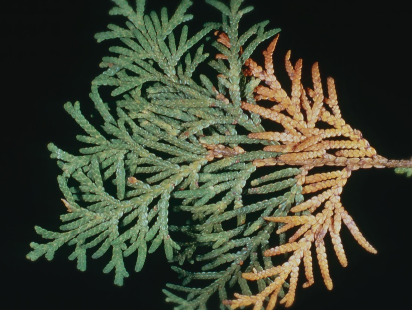 Eastern White Cedar Foliage