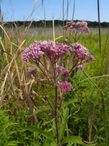 Spotted Joe Pye Weed
