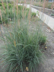 1Indian_Grass.png