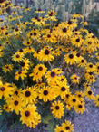 1Brown_Eyed_Susan.png